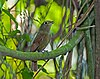 Schiffornis virescens