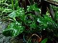Schismatoglottis kotoensis - 蘭嶼芋 by 石川 Shihchuan - 002.jpg