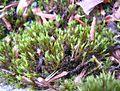 Schistidium apocarpum 2005.07.25 10.41.21-p7250007.jpg