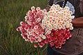 Schoenocephalium teretifolium1.jpg