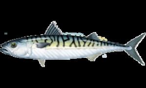 Scombrini - Atlantic mackerel, Scomber scombrus