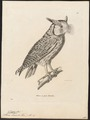 Scops leucotis - 1700-1880 - Print - Iconographia Zoologica - Special Collections University of Amsterdam - UBA01 IZ18400131.tif