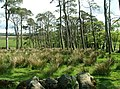 Scots Pines. - geograph.org.uk - 434749.jpg