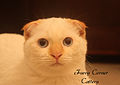 Scottish Fold Cream point.jpg