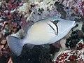 Scythe triggerfish (Sufflamen bursa) (47058283462).jpg