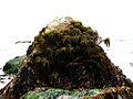 Sea palm (Postelsia palmaeformis).jpg