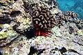 Sea urchins in Hawaii.jpg