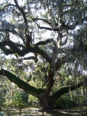 "Bluffton, South Carolina - This 350- to 400-year-old tree at Stock Farm in Bluffton is known as the ""Secession Oak"", the location where Robert Rhett called for the South to withdraw from the Union in 1844."