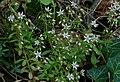 Sedum cepaea inflorescence (11).jpg