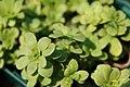 Sedum ternatum Larinem Park 1zz.jpg