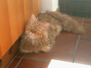 English: Picture of my Selkirk Rex cat.