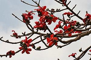 Semal (Bombax ceiba) flowers in Kolkata W IMG 4132