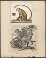 Semnopithecus entellus - 1700-1880 - Print - Iconographia Zoologica - Special Collections University of Amsterdam - UBA01 IZ19900017.tif