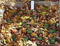 Sempervivum marmoreum - Botanischer Garten Braunschweig - Braunschweig, Germany - DSC04380.JPG