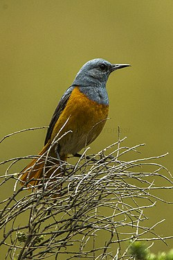 Sentinel Rock Thrush, South Africa S4E6994 (17234364971).jpg