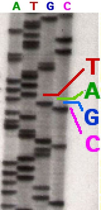 Sanger sequencing - Part of a radioactively labelled sequencing gel