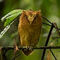 Serendib scops owl JpG.jpg