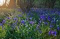 Setting sun light bluebells in Garston Wood - geograph.org.uk - 408723.jpg