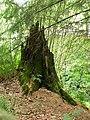 Shattered stump - geograph.org.uk - 1421011.jpg