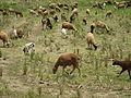 Sheeps at palakkad DSC09942.JPG