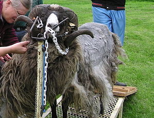 Textile manufacturing by pre-industrial methods - A half sheared sheep.