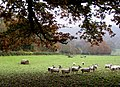 Sheltering sheep - geograph.org.uk - 1048725.jpg