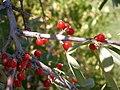 Shepherdia argentea (5199899915).jpg