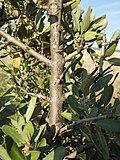 Shepherdia argentea (7934802948).jpg