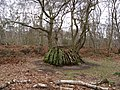Sherwood Forest - Unusual Tree Stump - geograph.org.uk - 722124.jpg