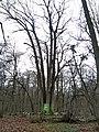 Shestystovburne oak tree1.jpg