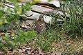 Shikra (Accipiter badius) with a captured Common Myna (Acridotheres tristis) W IMG 0753.jpg