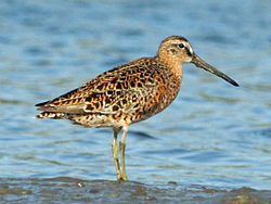 Short-billed Dowitcher breeding RWD.jpg