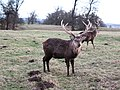 Sika deer stag, Studley Park - geograph.org.uk - 651693.jpg