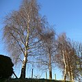 Silver birch in winter 1 - geograph.org.uk - 1187609.jpg