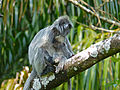 Silvered Leaf Monkeys (Trachypithecus cristatus) female and young (15596228077).jpg
