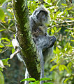 Silvered Leaf Monkeys (Trachypithecus cristatus) female and young (15779542051).jpg