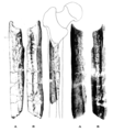 Sinanthropus Femur VII.png