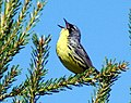Singing Kirtland's warbler male.jpg