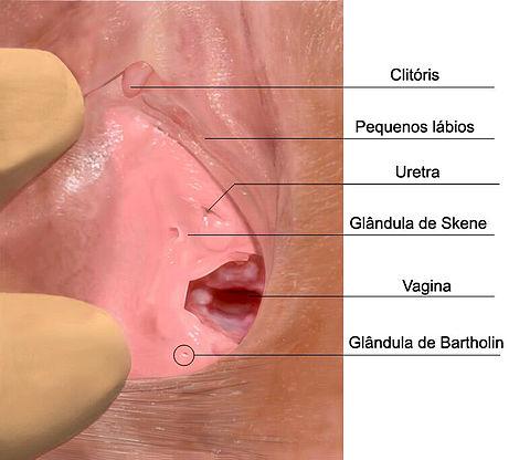 próstata de la glándula skener