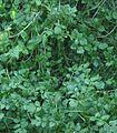 Slanke waterkers Rorippa microphylla.jpg