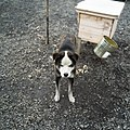Sled Dogs in Svalbard (2003) 05.jpg
