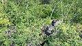 Sliznevsky Collapse (Drunken trees).jpg
