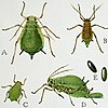 Life stages of the green apple aphid