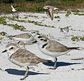 Snowy Plover From The Crossley ID Guide Eastern Birds.jpg