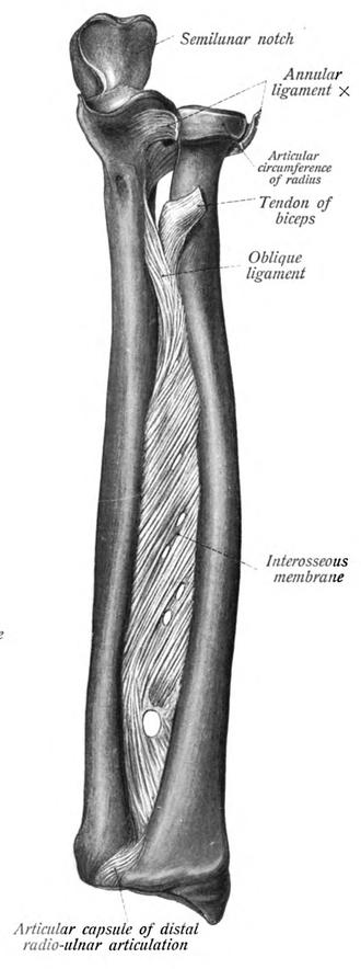 Interosseous membrane - Interosseous membrane. Ulna and Radius, Left arm.