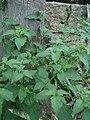 Solanum americanum.jpg