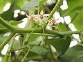 Solanum betaceum-IMG 4477.jpg