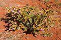 Solanum centrale habitii.jpg