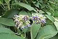Solanum mauritianum - Wild tobacco tree - at Ooty 2014 (21).jpg