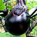 Solanum melongena Maru nasu-1.jpg